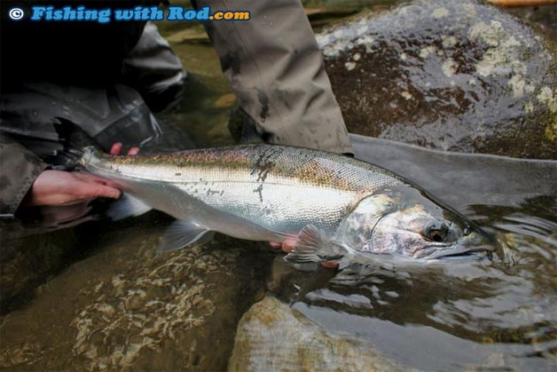 salmon in freshwater fishing in bc fishing with rod
