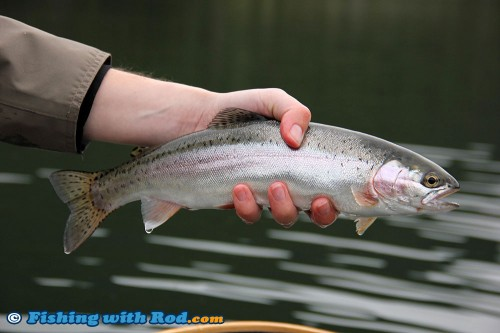 Beautiful Onion Lake rainbow trout