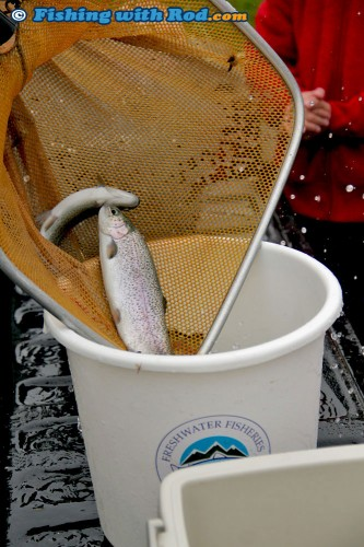 Trout ready to be released