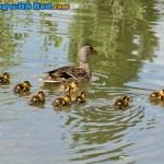 Ducklings on Skaha Lake