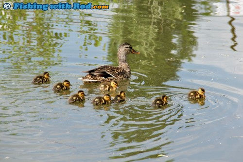 Ducklings on Skaha Lake