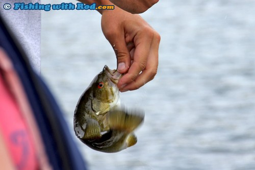A small smallmouth bass