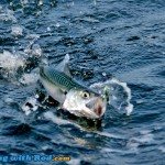 Chub mackerel