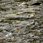 Big School of Spawning Chum Salmon