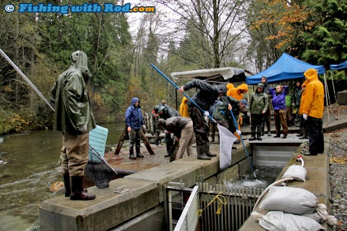 Collecting Chum Salmon Broods
