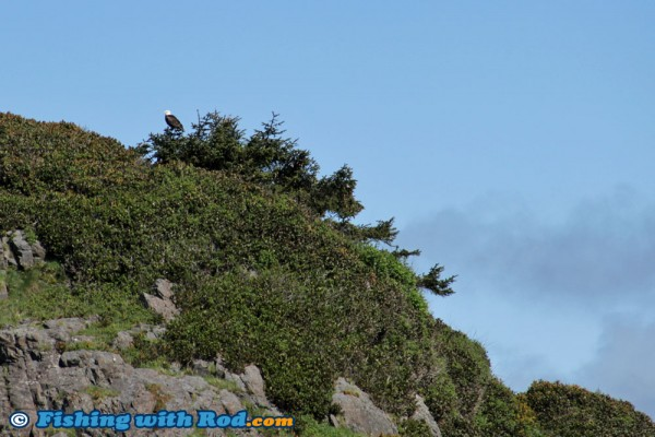 Bald Eagle on the West Coast of Vancouver Island