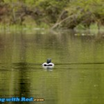 Loon in Thick Spring Hatch