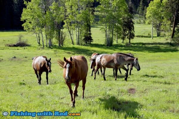 Horses Freely Roaming in Thompson-Nicola BC