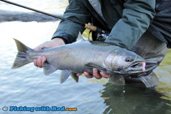 Darker Coho Salmon