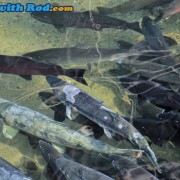 Spawning Coho and Chum Salmon at Hyde Creek
