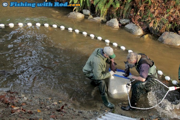 Seining for spawning salmon in Hyde Creek