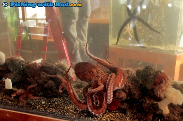 A Giant Pacific Octopus at the Ucluelet Aquarium