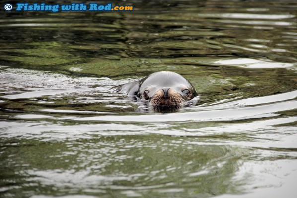 Sea Lion in Ucluelet Harbour