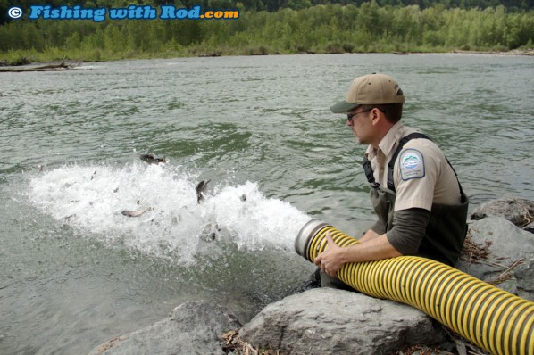 Releasing Juvenile Steelhead into Chilliwack River