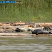 Fraser River Harbour Seal