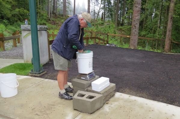 Weighing Coho Salmon Fry Prior to Release