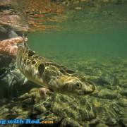 Skagit River Bull Trout