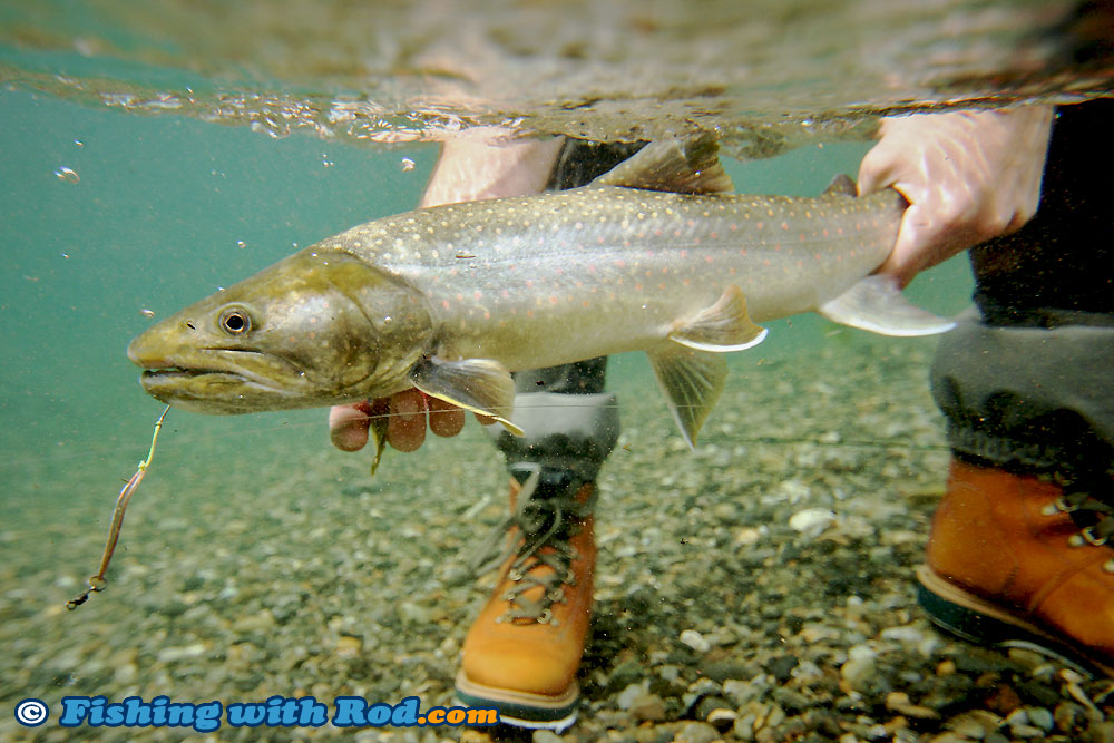 Skagit river bull trout fishing with rod blog british for Skagit river fishing
