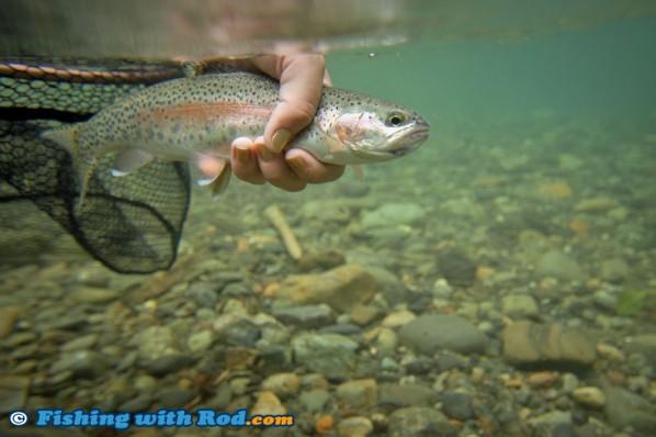 Skagit River Rainbow Trout