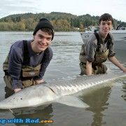A beautiful Fraser River white sturgeon