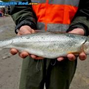 Cultus Lake coastal cutthroat trout