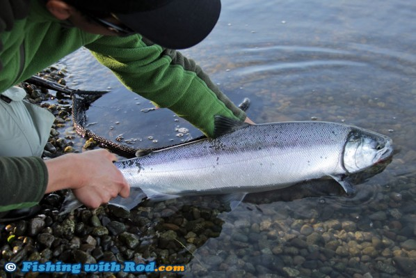 Fraser River coho salmon