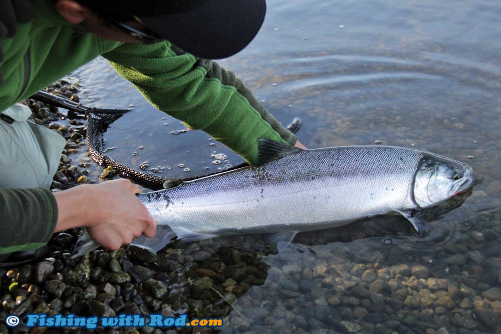 Lower Fraser River Interior Coho Salmon Management Measures « Fishing with Rod Blog   British ...