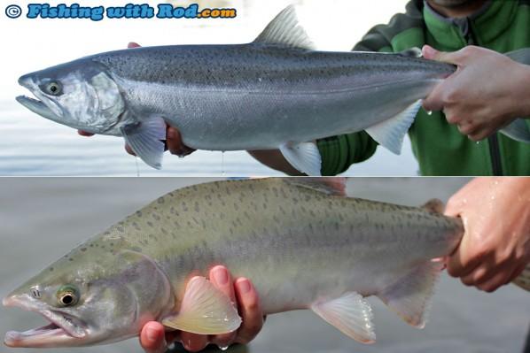 Coho salmon and pink salmon