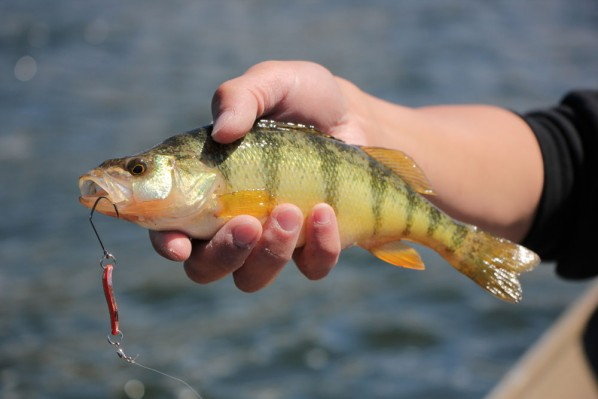 Yellow Perch from Skaha Lake