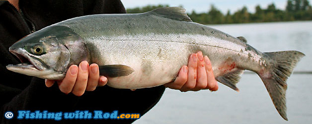 salmon pink gorbuscha fish fishing oncorhynchus river pacific does chilliwack fishery fall northwest lures fishingwithrod rod rivers