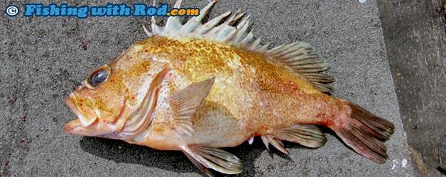 Quillback Rockfish   Sebastes maliger   Fishing with Rod