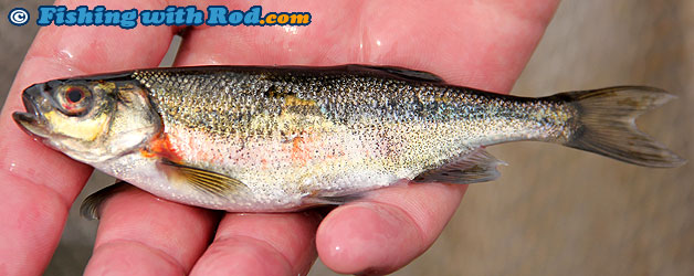 Redside Shiner | Richardsonius balteatus | Fishing with Rod