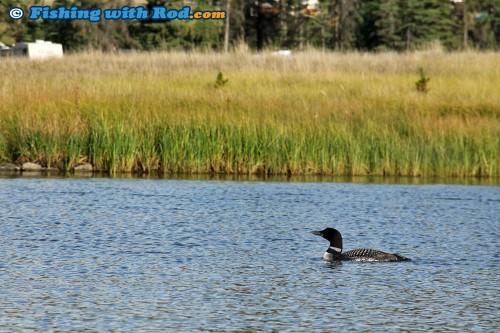 Hungry Loon at Tunkwa Lake BC