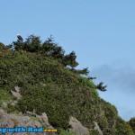 Bald Eagle on the West Coast of Vancouver Island